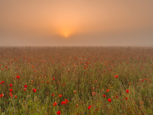 Bloeiend klaprozen in veld bij mistige zonsopkomst in Nederland