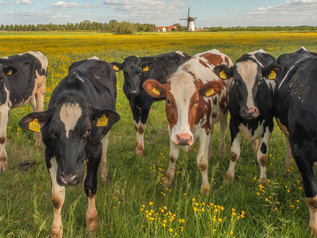 Koeien Holstein Friesian voor De Marsch(molen)