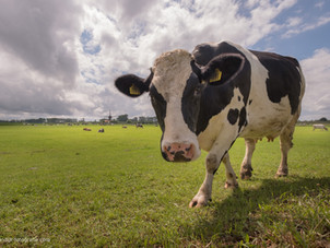 Nieuwsgierige koe bij De Marsch(molen) in Lienden, de Betuwe