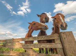 Nieuwsgierige paarden bij hekwerk