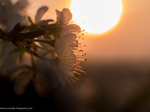Bloesem bij zonsopkomst