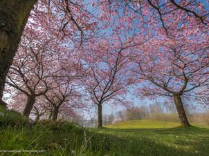 Prunus bomen