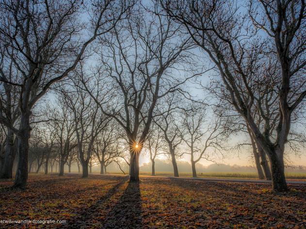 Magische zonnestralen tussen walnotenbomen Notenlaan Mariënwaerdt