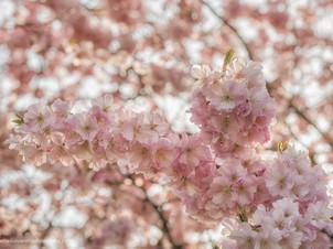 Tak met roze bloesem