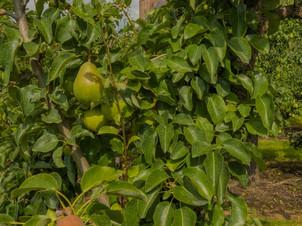 Kerk Echteld tussen de fruitbomen