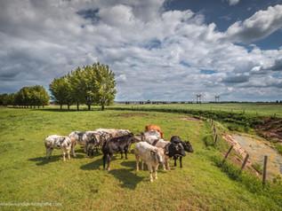 Koeien in de polder