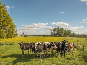 Marschmolen Lienden en Holstein Friesian koeien
