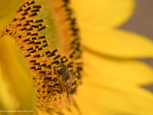 Insect op zonnebloem