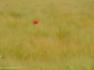 Klaproos in korenveld