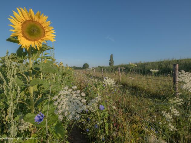 Zonnebloemveld bij Lekdijk in Beusichem