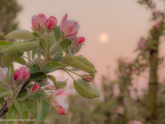 Thema: Fruitbomen bloesem fruit