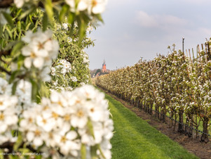 Boomgaard in de bloesem met kerktoren Buren op achtergrond
