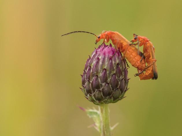 Weekschildkevers