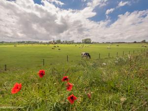 Koeien en klaprozen bij De Marsch (molen) Lienden