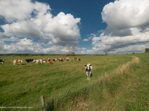 Nieuwsgierige koe in het weiland
