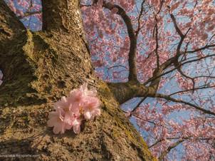 Lentebloesem van Prunus