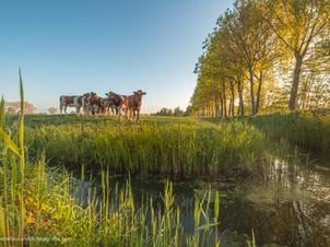 Koeien bij de sloot