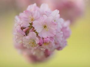 Thema: bloesem - Japanse sierkers