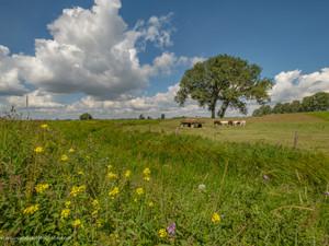 Hollandse koeien bij  (hooi) strowagen in de Betuwse polder