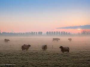 Schapen in de mist
