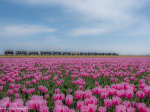 Trein tussen de tulpenvelden