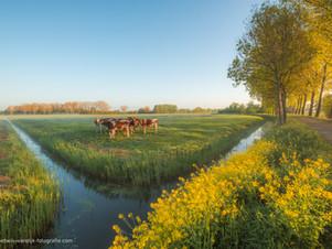 Koeien in het weiland