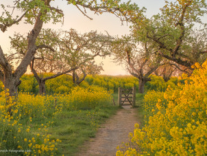Pad met houten hek tussen bloeiende koolzaad - raapzaad