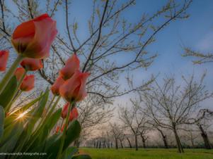 Fruitboomgaard met tulpen
