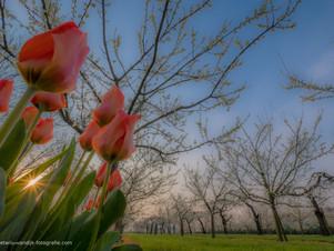Tulpen in fruitboomgaard