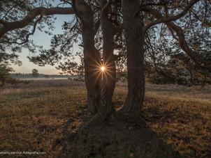 Een stralende ochtendzon (zonnester) door een boom