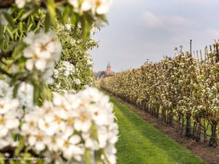 Fruitboomgaard met bloesem en kerktoren Buren