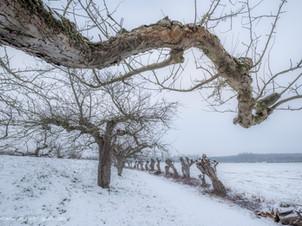 Appelboom aan de Appeldijk in de winter
