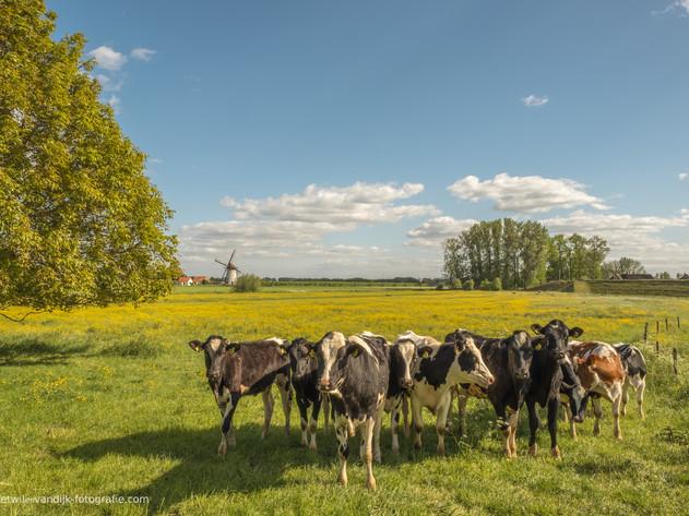Koeien Holstein Friesian en De Marsch(molen)
