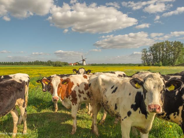 Holstein Friesian koeien bij De Marsch(molen) in Lienden