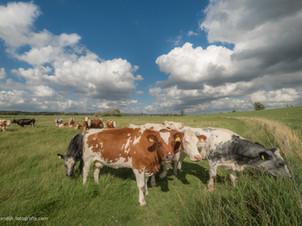 Koeien in de uiterwaarden