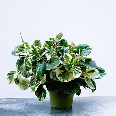 Peperomia 'Marble'A.jpg