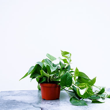 Pothos Golden - HangingA.jpg