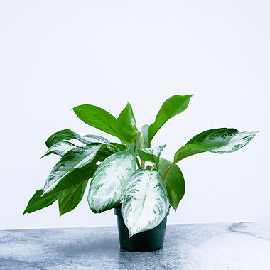 Chinese Evergreen 'Silver Bay'A.jpg