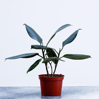 Ficus ElasticaA.jpg
