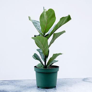 Ficus LyrataA.jpg