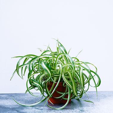 Spider Plant 'Bonnie Varigated' - Chlorp