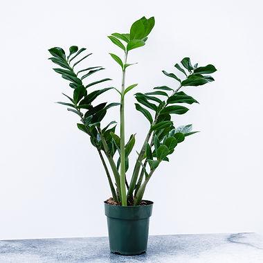 Zamioculcas Zamiifolia 'Zanzibar gem' -