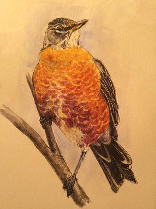 Copper Bellied Robin