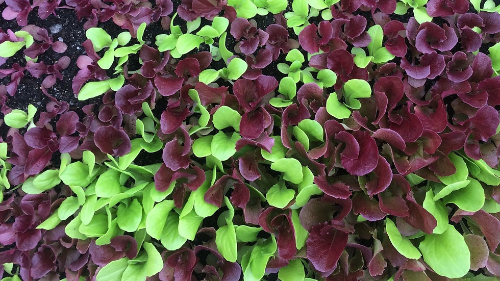Baby Blue Lettuce Mix