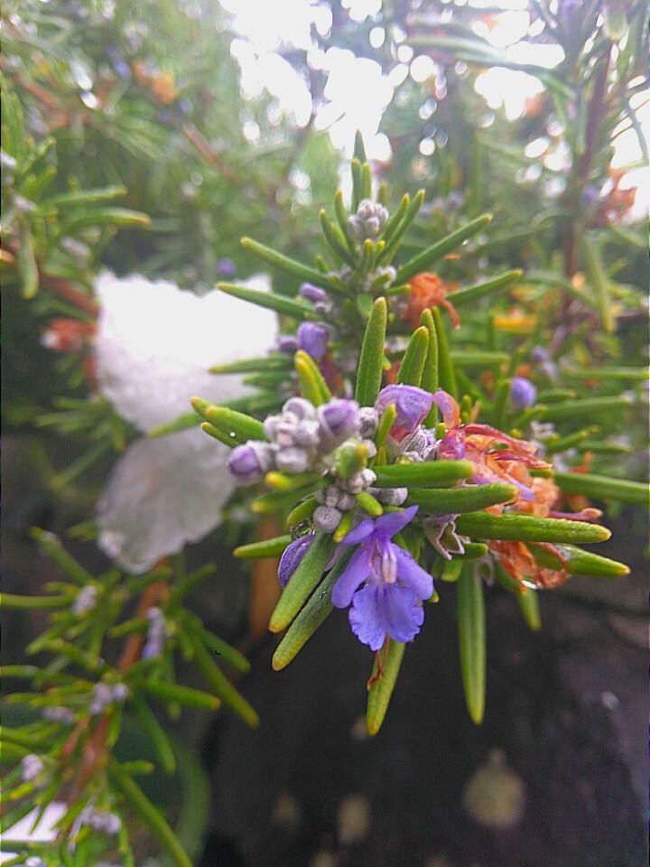"""Rosemary flowers"""