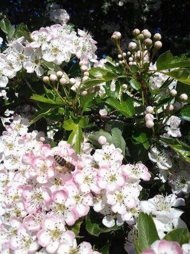 Bee on May Hawthorne Flowers