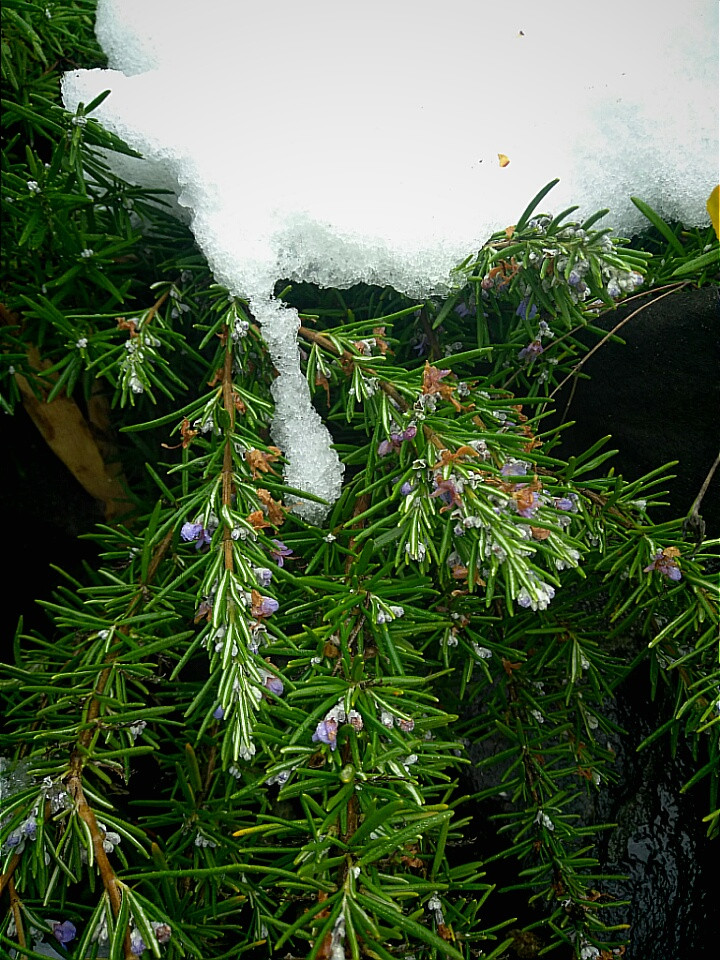 """Rosemary in the snow with flowers"""