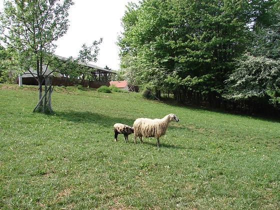 Pramenka sheep