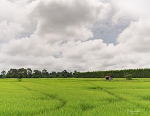 Rice Field at Nakhon Nayok, Thailand. 2017