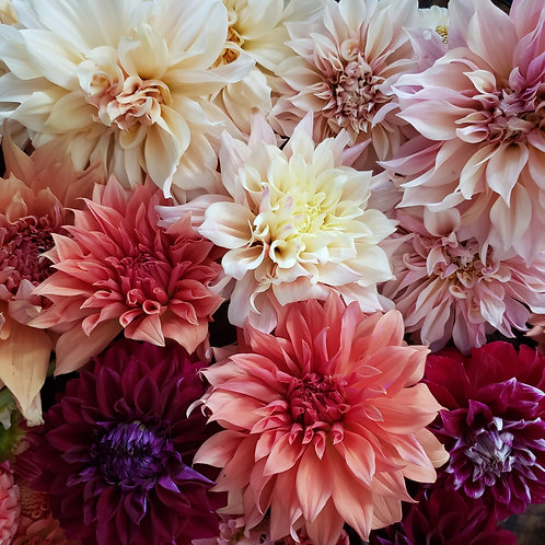 Mixed Dinnerplate Dahlias